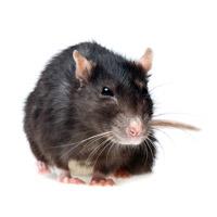 dvs sch dlingslexikon sch dlinge erkennen ratten. Black Bedroom Furniture Sets. Home Design Ideas